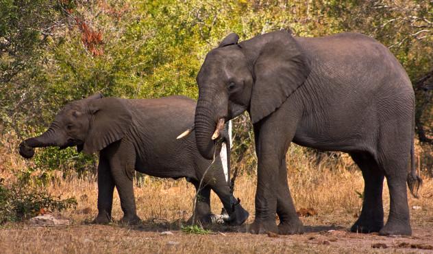 elephantandcalf